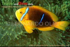 anemonefish-twoband-16-12-tif-copy