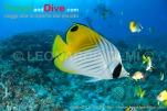 butterflyfish-threadfin-dsc_3611-tif2-copy