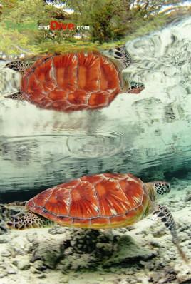 polinesia-francese-bora-bora-riflesso-di-una-tartaruga-dsc_4666-tif-bis2-copia-copy