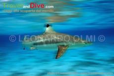 polinesia-francese-bora-bora-squalo-pinna-nera-in-laguna-1-20-tif2-blur-copia-copy