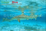 sharks-blacktip-1-14-tif-copy