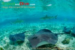 stingrays-blacktip-sharks-dsc_3782-tif-copy