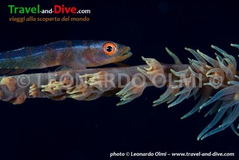 Red Sea, Sudan, Sha'ab Rumi south, coral goby DSC_5716 TIF copia copy.jpg