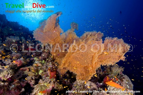 Red Sea, Sudan, Sha'ab Rumi south, gorgonia sea fans DSC_5804 TIF copia copy.jpg