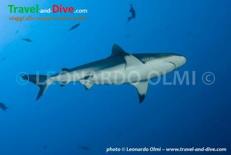 Red Sea, Sudan, Sha'ab Rumi south, gray reef shark DSC_5799 TIF2 copia copy.jpg