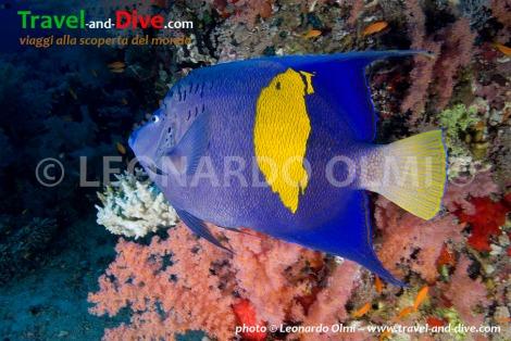 Red Sea, Sudan, Sha'ab Rumi south, yellowband angelfish DSC_5874 TIF copia copy.jpg